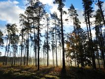 Beautiful pine trees in forest, Lithuania stock images