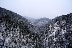 Beautiful pine trees winter  forest Stock Photography