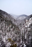Beautiful pine trees winter forest stock image