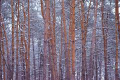 Beautiful pine winter forest Royalty Free Stock Image