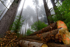 Beautiful pinetrees in the foggy forest, french nature Stock Photo