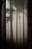 Beautiful pinetrees in the foggy forest, french nature Stock Images