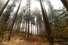 Beautiful pinetrees in the foggy forest, french nature Stock Photography