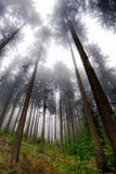 Beautiful pinetrees in the foggy forest, french nature Royalty Free Stock Photography