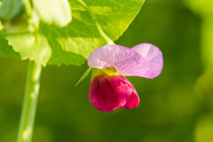 Beautiful ping flowers growing in the garden. Vibrant summer scenery. Stock Photography