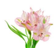Beautiful Pink Alstroemeria Stock Photo