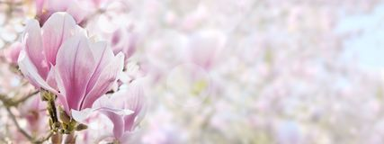 Beautiful Pink And White  Flower Of Magnolia Stock Photos