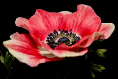 Beautiful Pink Anemone flower Stock Photos