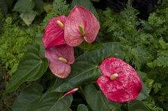 Pink Anthurium in Singapore Botanic garden. Beautiful Pink Anthurium was growing nicely outdoor in the Botanic Garden of Singapore Stock Photo