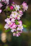 Beautiful pink apple blossom flower. Soft focus. Stock Photography