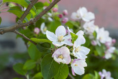 Beautiful pink apple flowers in close up Royalty Free Stock Photo