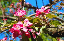 Beautiful pink Apple Flowers. Flowering apple trees. Background with blooming flowers in spring day. Beautiful pink Apple Flowers. Flowering apple trees royalty free stock photo