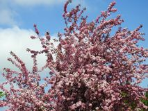 Pink apple tree blooms, Lithuania Stock Image