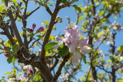 Beautiful pink apple tree blossom, springtime in kibbutz orchard. Negev desert, sunny Israel in February Royalty Free Stock Images