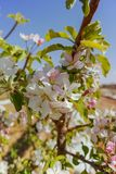 Beautiful pink apple tree blossom, springtime in kibbutz orchard. Negev desert, sunny Israel in February Royalty Free Stock Photos