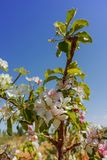Beautiful pink apple tree blossom, springtime in kibbutz orchard. Negev desert, sunny Israel in February Royalty Free Stock Photography