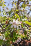 Beautiful pink apple tree blossom, springtime in kibbutz orchard. Negev desert, sunny Israel in February Stock Photo
