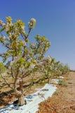 Beautiful pink apple tree blossom, springtime in kibbutz orchard. Negev desert, sunny Israel in February Stock Image