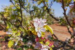 Beautiful pink apple tree blossom, springtime in kibbutz orchard. Negev desert, sunny Israel in February Royalty Free Stock Image