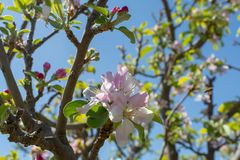 Beautiful pink apple tree blossom, springtime in kibbutz orchard. Negev desert, sunny Israel in February Stock Images