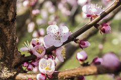 Beautiful pink apricot flowers, blooming in springtime. stock photos