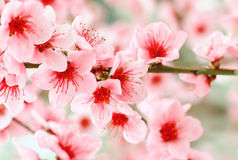Beautiful pink apricot tree flowers. Beautiful pink flowers of apricot tree on a close-up branch Royalty Free Stock Images