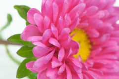 Beautiful Pink Aster Flower Close-Up Stock Images