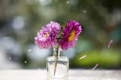 Beautiful pink aster flowers and falling petals Stock Images