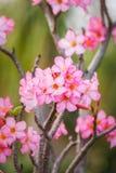 Beautiful pink azalea flowers tropical flowers. Desert roses Royalty Free Stock Photos