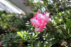 Beautiful pink azalia Royalty Free Stock Photo