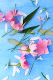 Beautiful pink ballerina roses on blue painted background. Stock Image