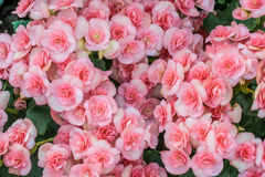 Beautiful Pink begonia. Flowers background Royalty Free Stock Images
