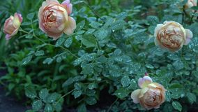 Beautiful pink and beige rose bush in english countryside garden. Green nature background with place for text Royalty Free Stock Image