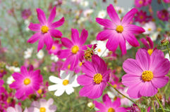 Beautiful pink bell flowers Royalty Free Stock Photo