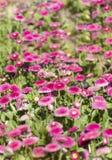 Beautiful pink bellis flowers  background Stock Photos
