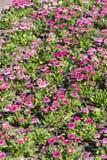 Beautiful pink bellis flowers  background Stock Photo