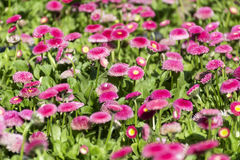 Beautiful pink bellis perennis  flowers  background. Field of beautiful pink bellis perennis flowers Stock Images