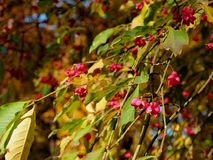 Beautiful pink berries on the autumn tree royalty free illustration