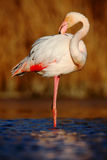 Beautiful pink big bird Greater Flamingo, Phoenicopterus ruber, cleaning plumage in dark blue water, with evening sun, reed in the stock image