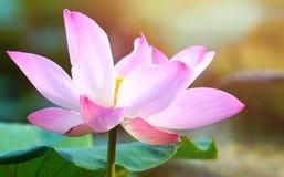 Pink bloom lotus flower in water pond garden decoration (Lotus u. Beautiful pink bloom lotus flower in water pond garden decoration (Lotus used to worship royalty free stock image