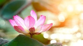 Pink bloom lotus flower in water pond garden decoration (Lotus u. Beautiful pink bloom lotus flower in water pond garden decoration (Lotus used to worship stock photos