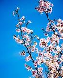 Beautiful pink blooming. Royalty Free Stock Image