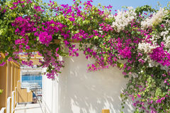 Beautiful pink blooming  bougainvillea  tree. Beautiful bougainvillea flowers  for house decoration Royalty Free Stock Image