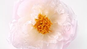 Beautiful pink, Blooming peony flower open on white background. Wedding backdrop, Valentine's Day concept. Time lapse