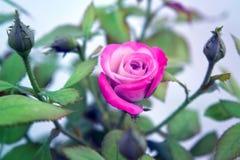 Beautiful pink blooming rose Stock Image
