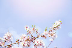 Beautiful pink blossom and blur lights with sky background and sun Stock Images