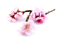 Beautiful pink blossom Royalty Free Stock Images