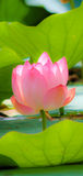 Beautiful Pink Blossom of Lotus Flower Royalty Free Stock Photo