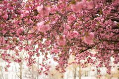 Blossoming cherry trees in spring,Spring Background stock photography