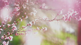Beautiful Pink Blossoming Peach Flowers on the Garden Tree Branch in The Spring, Selective Focus with Handheld Camera stock video footage
